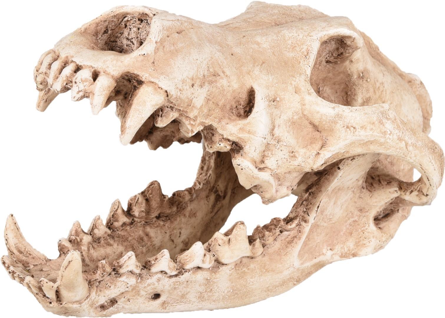 Ad skelo schedel roofdier 24x13x13 cm